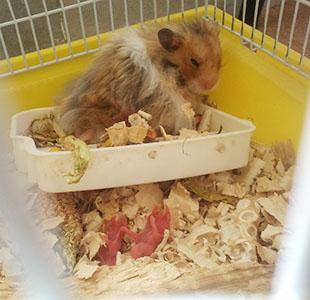 نوزاد همستر