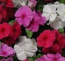 تغذیه: گل پریوش و خواص ضد سرطانی آن