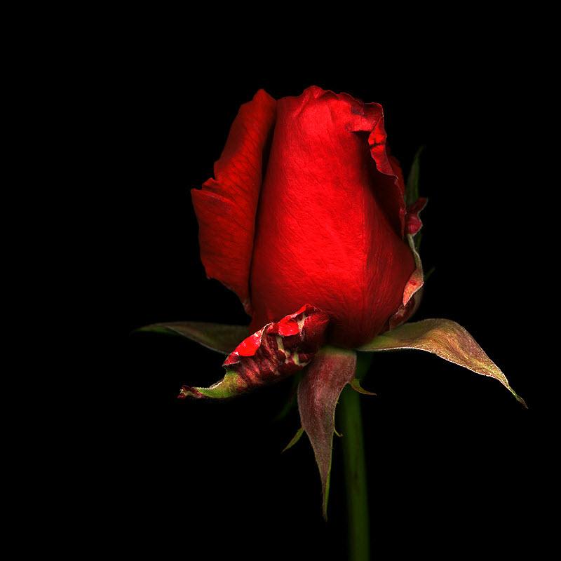 عکس گل رز قرمز با کیفیت