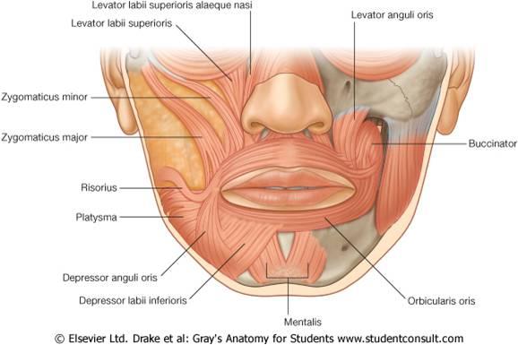 آناتومی عضلات صورت و دهان