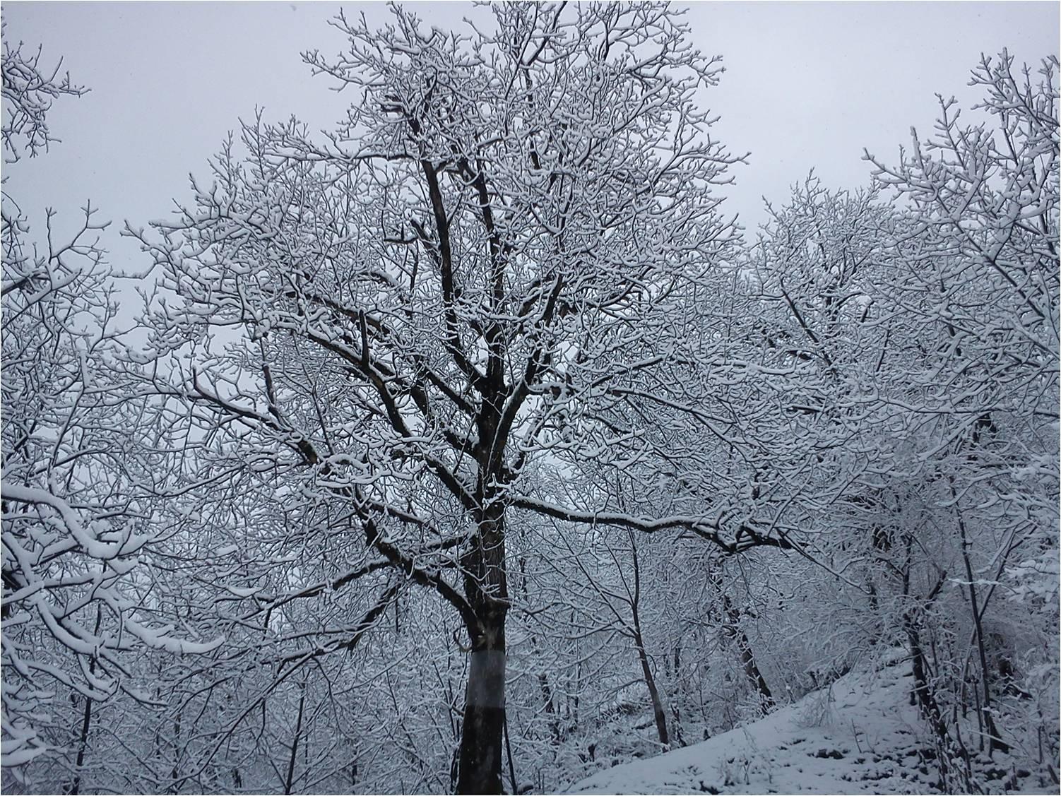 برف نشسته روی درخت گردو