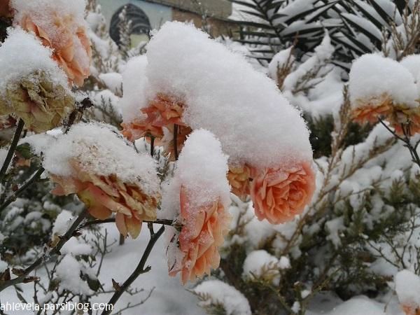 گل برفی