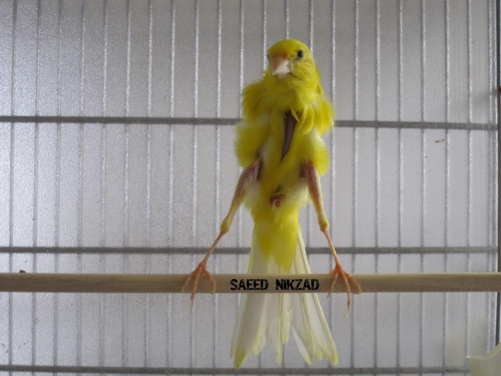 نر جیبر زرد