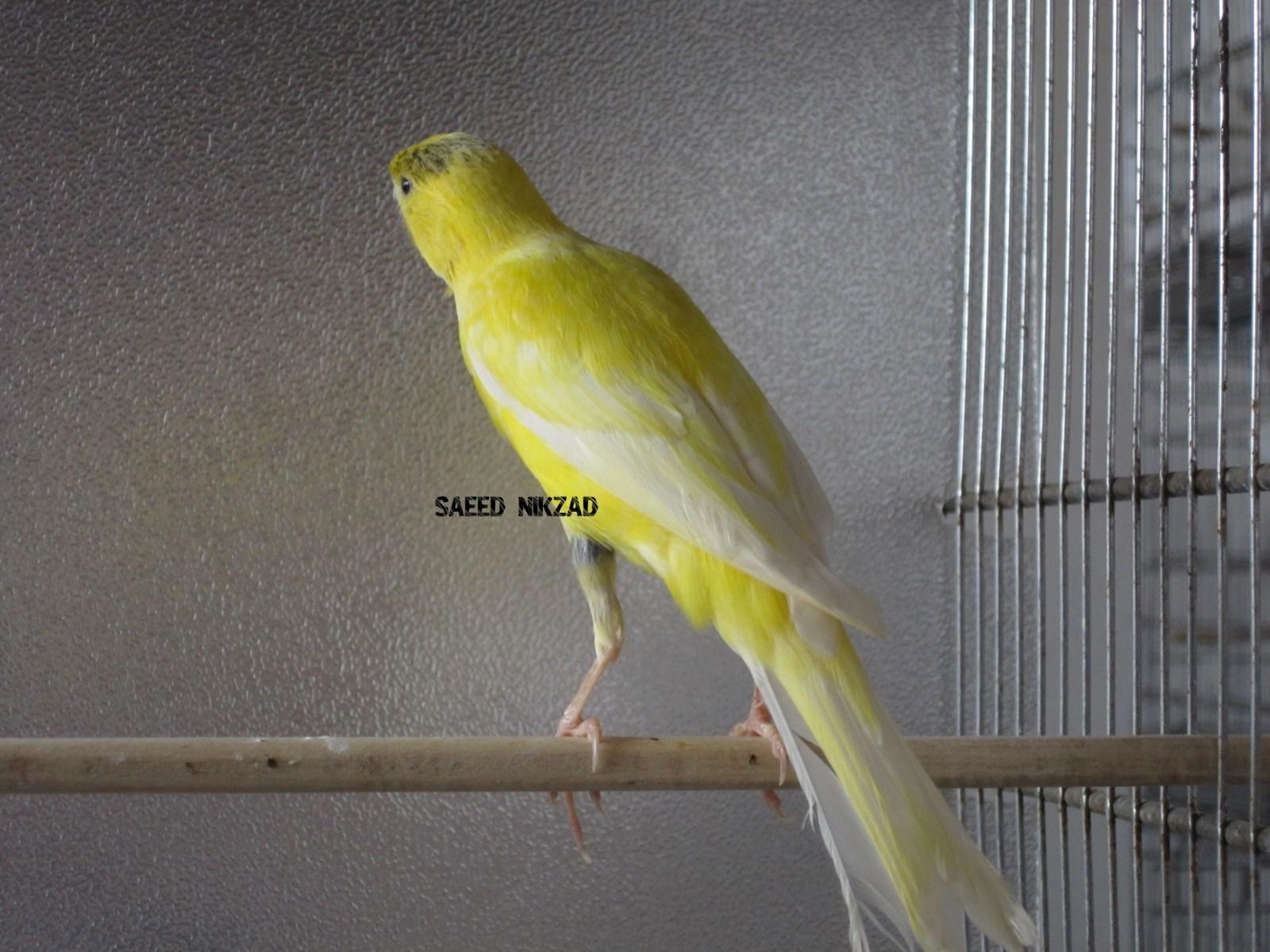 قناری ماده سوپر زرد داغ سر یکساله