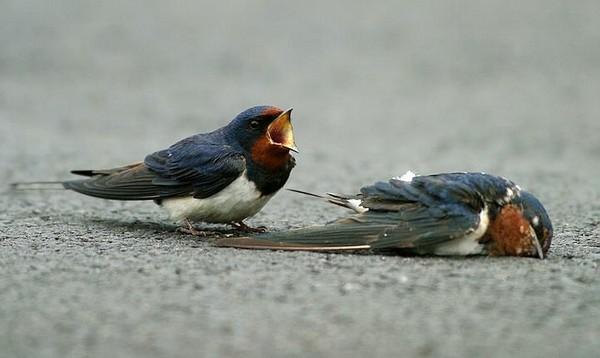 پرنده عاشق