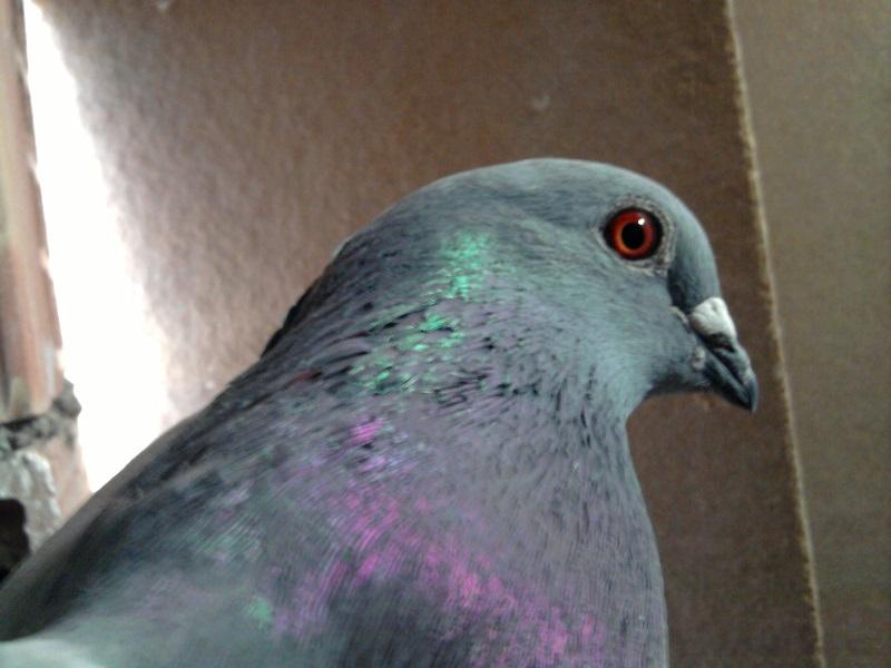 کبوتر آلمانی