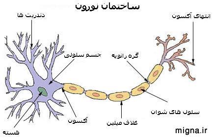 نتیجه تصویری برای نقش نورو ترانسمیترهای عصبی