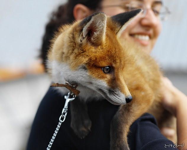 روباههای گربه ای