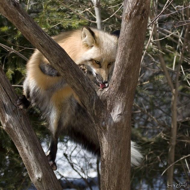 Cat Traitsik (روباه قرمز و روباه خاکستری)