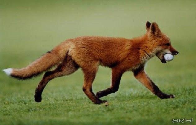 مهارت در توپ بازی روباه