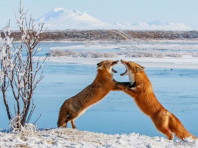 روباه ها شکارچیان ماهر