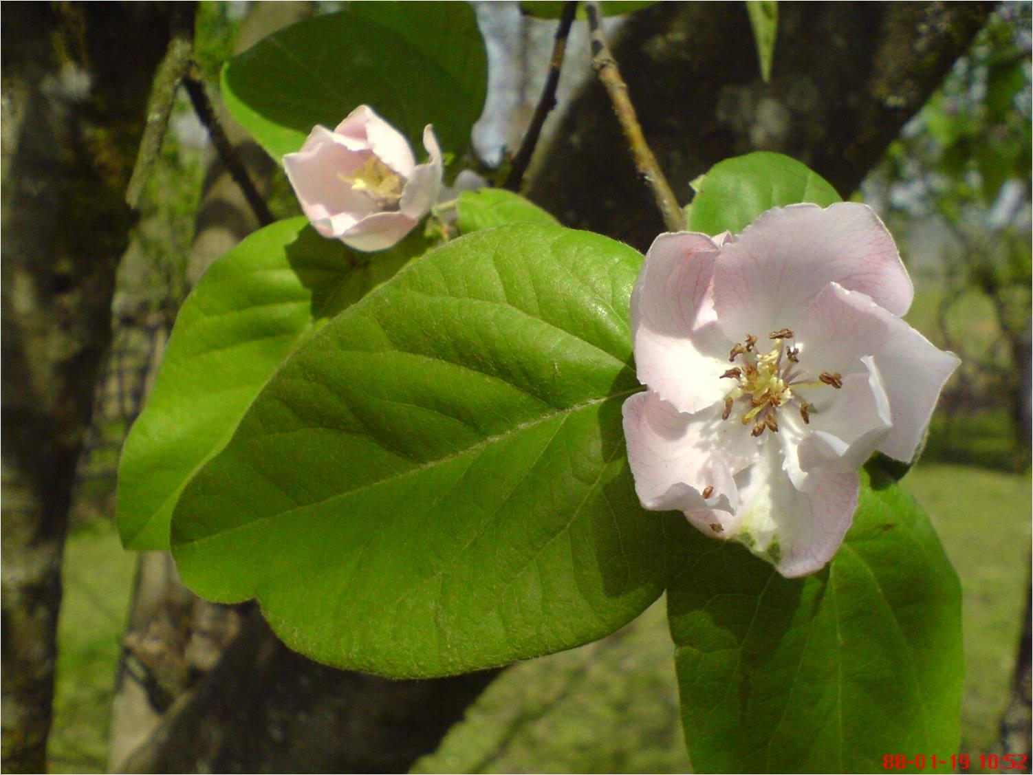 شکوفه زیبای سیب در روستای شولم