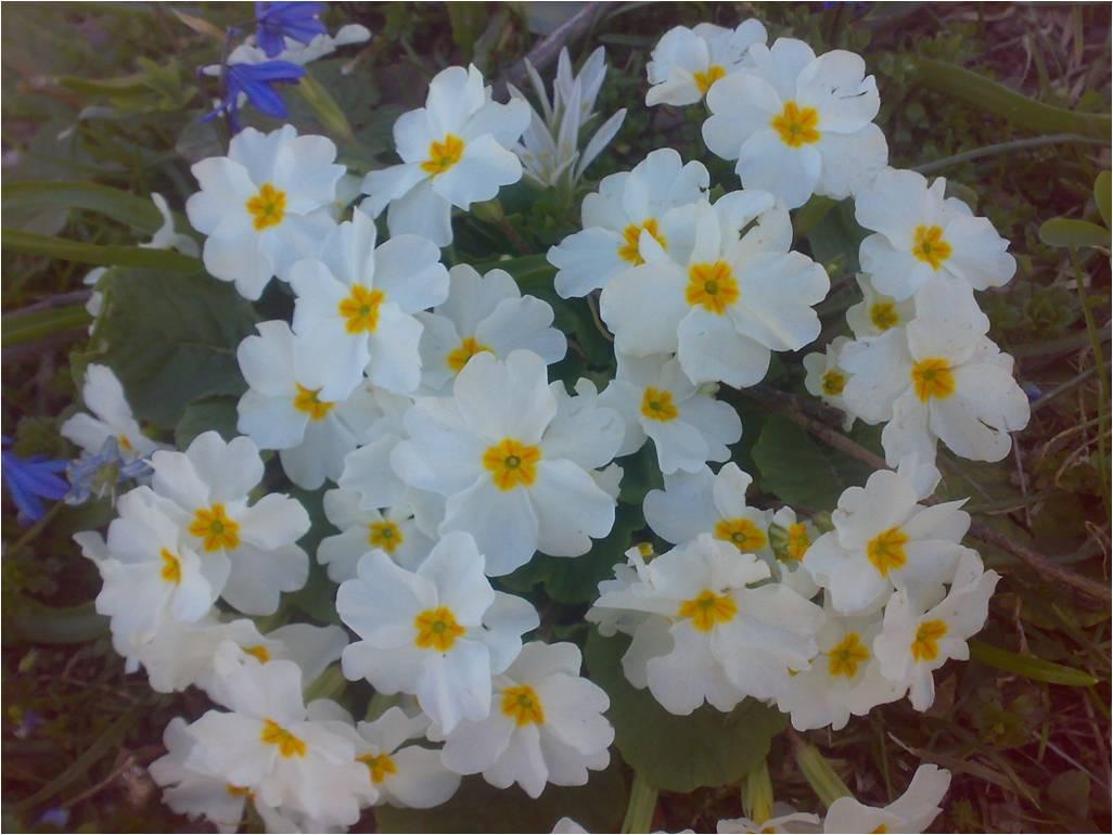شکوفه گل پامچال در ییلاق زنگرد