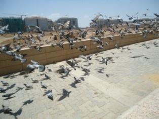 کبوترهای جلد بقیع