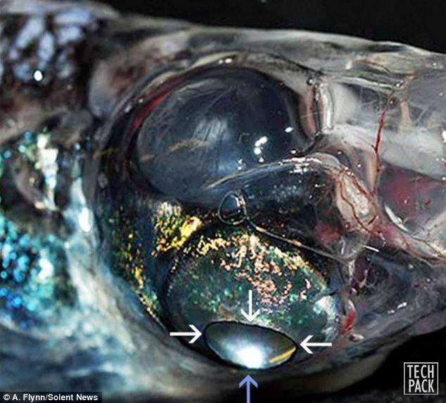 ماهی 4 چشم