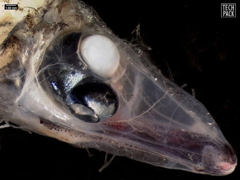ماهی 4 چشمی هم كشف شد!