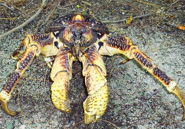 بزرگترین خرچنگ جهان