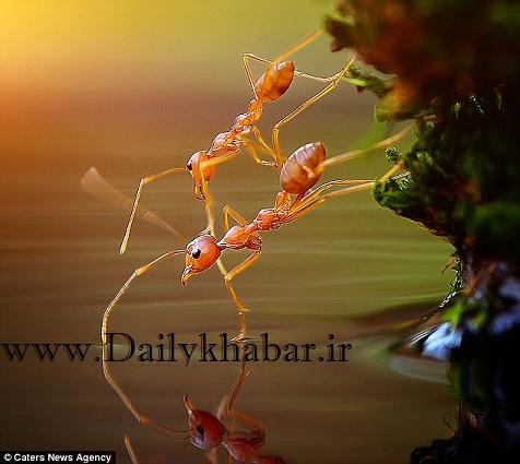 رقص حیرت انگیز دو مورچه