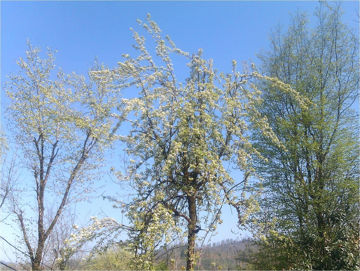 شکوفه گلابی بهمراه درخت گلابی