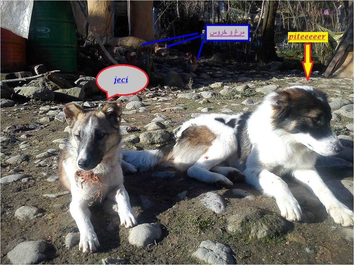 سگ حیوان وفادار پیتر وجسی