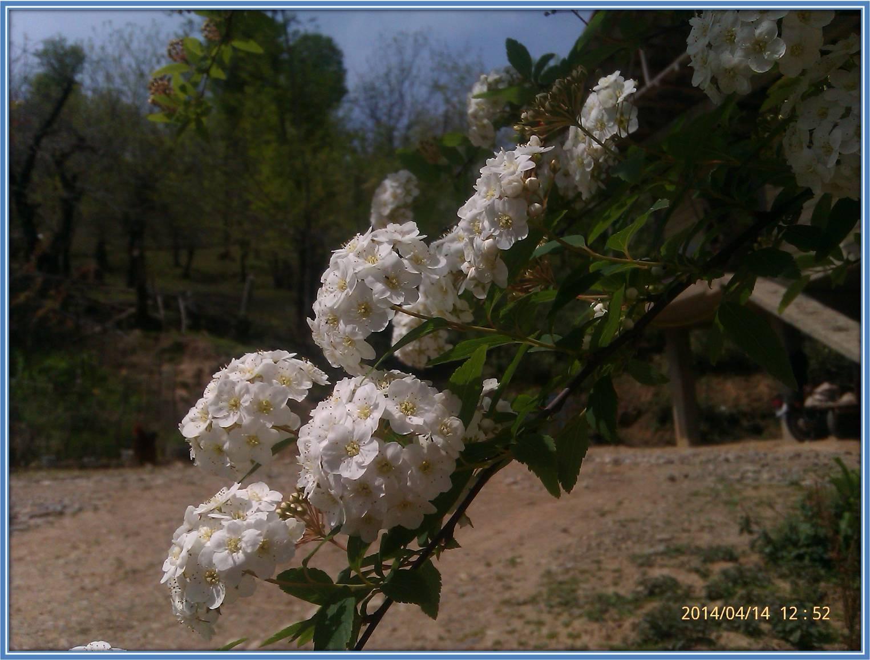 گلهای بهاری و زرد رنگ شمال کشور فومن روستای شولم