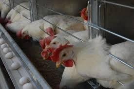 طرح های توجیحی  مرغداری گاوداری   کشاورزی