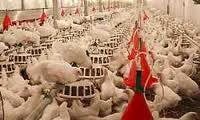 دانلود فایل کاراموزی مرغداری گوشتی گزارش کار حضور در مرغداری