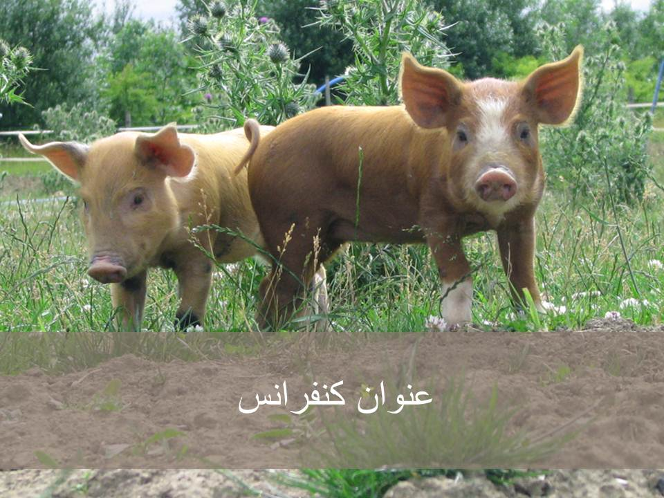 قالاب پاورپوینت خوک