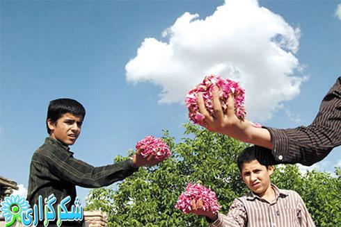 خواص گلاب_فواید گلاب_عکس گلاب گیری_کنترل خشم با گلاب_فواید بوی گلاب