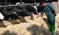 اموزش اصول و روش پرواربندی گاو گوساله  و نکات مربوط به پروار و جیره