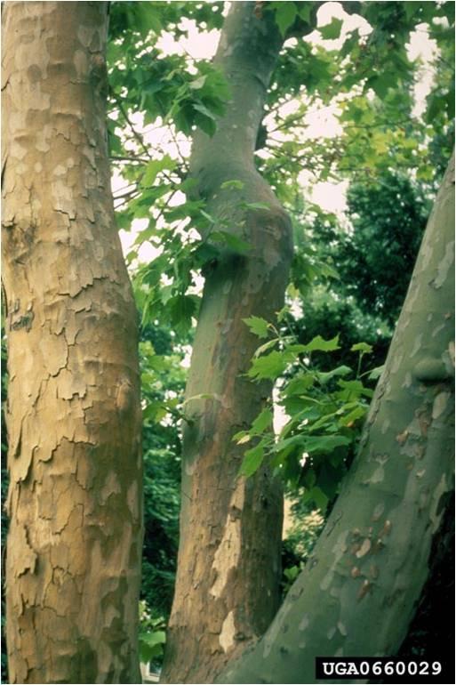 دانلود پاورپونت بیماری های درخت چنار و علایم و کنترل انها
