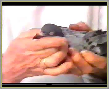 عفونت چشمی کبوتر
