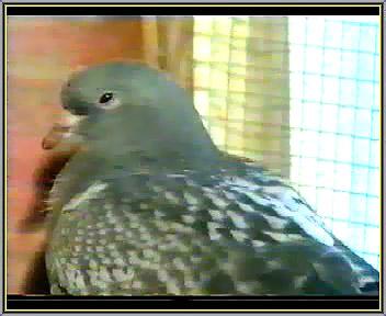 بی حالی کبوتر