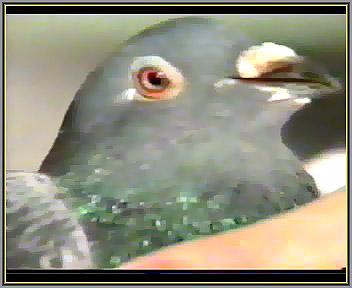 فخ فخ کبوتر