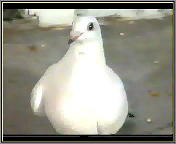 گرفتگی بال کبوتر