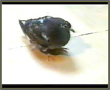 بیماری نیوکاسل کبوتر