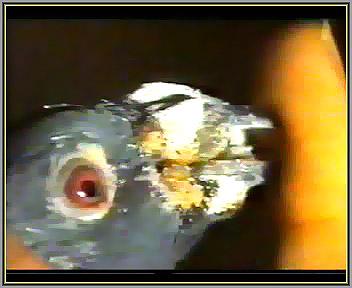 دانه چرکی کبوتر