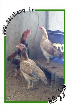 مرغ و وس مینیاتوری