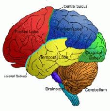 تازه های پزشکی: مغزهای بزرگتر بهتر میبینند