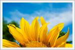 گل های آفتاب گردان