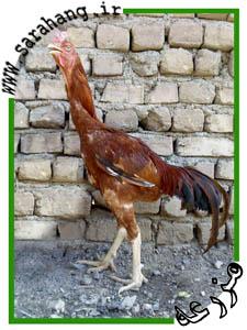 مرغ و وس لاری