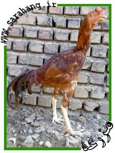 مرغ لاری