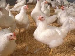 دانلود جدیدترین طرح توجیهی مرغداری گوشتی ظرفیت 15 هزار قطعه فرمت word