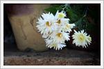 تصاویر بسیار زیبا از گل های داوودی