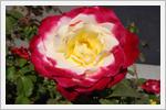 تصاویر زیبا و باکیفیت از گل های رز