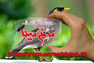 نکات دانستنی در خصوص مرغ مینا 3     www.mynahbird.tk