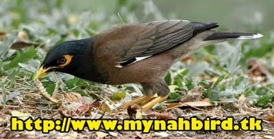 تغذیه مرغ مینا 2    - www.mynahbird.tk