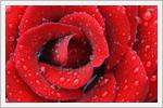 والپیپرهای گل رز