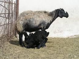 اصول و روش  پرواربندی گوسفند و بره  جیره و به همراه طرح توجیهی جدید