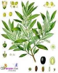 کاشت داشت برداشت لوبیا  Phaseolus  sp .